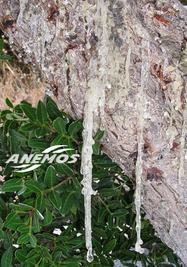 mastic of chios. Drops of natural mastic from the tree trunk