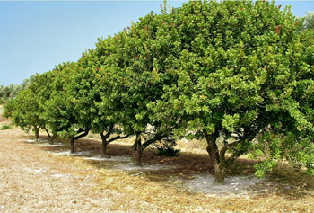 cultivation of mastic trees